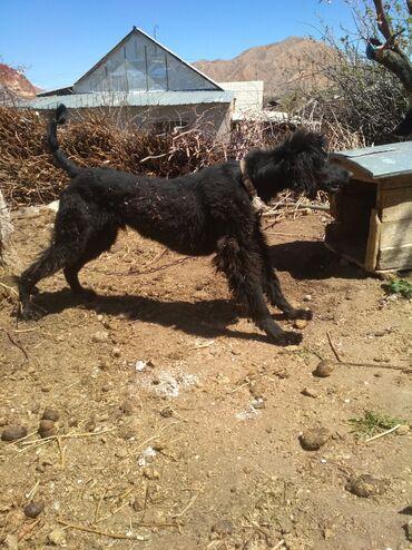 Животные - Бостери: Кыргыз тайган экөөтен эркек рабочий баасы экөөну 10минге берем