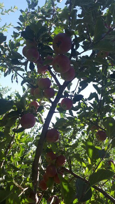 129 объявлений: Продаю яблоки оптом самовывоз