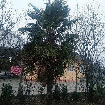 cülyan kəndi - Azərbaycan: Çox illik palma ağacı dir . ağac Tovuz rayon Aşağı Quşçu kəndindədir