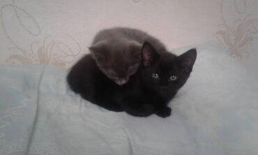 40 объявлений   НАХОДКИ, ОТДАМ ДАРОМ: В добрые руки отдам котят, серый и чёрный мальчики, к лотку приучены
