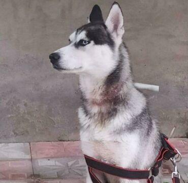 it - Azərbaycan: Husky satılır sağlamlığı yerindedir 9 aylığdır peyvəndi zadı her bir
