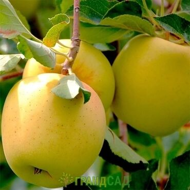 4578 объявлений: Продаю яблоки сорт Голден цена 40с за кг. Находимся в с.Беловодское