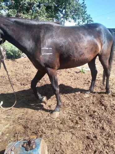 Животные - Боконбаево: Лошади, кони