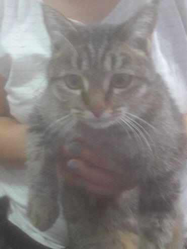 ищу кошку в Кыргызстан: Отдам даром умную,чистую кошку