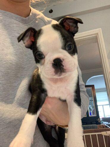 Κουτάβια Boston Terrier για υιοθεσίαΤα κουτάβια του Boston Terrier για