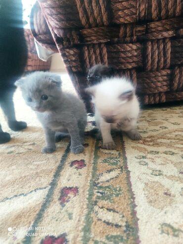Животные - Дмитриевка: Продаю котят шотландской вислоухой породы, котятам 1-месяц без