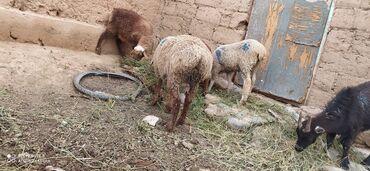 Животные - Ат-Башы: Эдильбай козу кочкор, бирок кичинекей мүйүзу бар