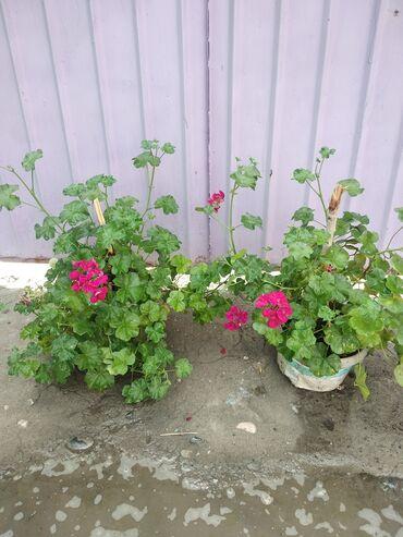 Семена и уличные растения - Сокулук: Продаю розовая Герань!!!