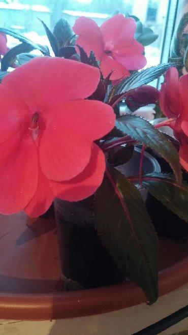 цветущую герань в Кыргызстан: Алоэ вера цветы цветущие круглый год бальзамин,доллар,фикус,герань