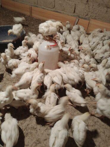 Животные - Бакай-Ата: Несушка жожо сатылат хай-лайн соня 35 кундук 160сом 500 шт маки