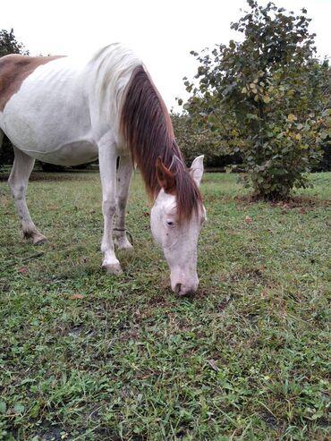 14 elan | HEYVANLAR: Salam atın 10 yaşı var. Yaxşı yorğa yerişi var. İnsana zədə verəsi