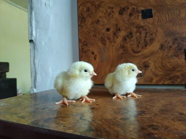 Цыплята суточные бройлеров