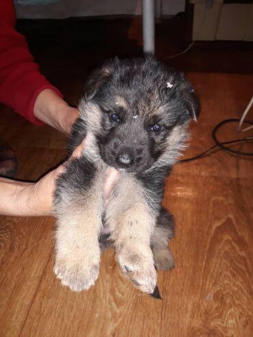 Яблоки цена за 1 кг - Кыргызстан: Продаётся щенок, Немец 1,5месяца, социализирован,проглистован и вакцин