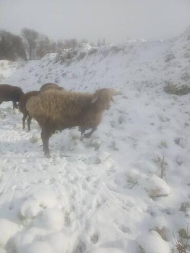 Бараны, овцы - Назначение: Для разведения - Бишкек: Продаю   Овца (самка)   Романовская   Для разведения