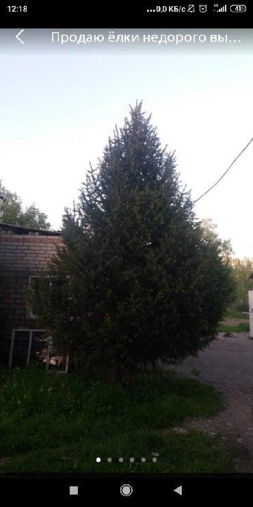 Саженцы - Кара-Балта: Срочно! Продаю живые ёлки . Высота 4-5-6 метров. Пышные, зеленые