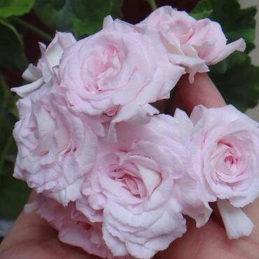 Комнатные цветы! продаю только укорененные черенки!!! Самовывоз мкр Ас