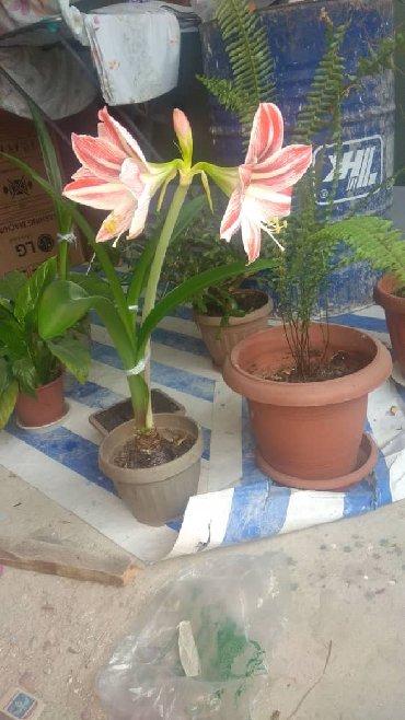 цветы пеларгонии в Кыргызстан: Приму в дар цветы комнатные