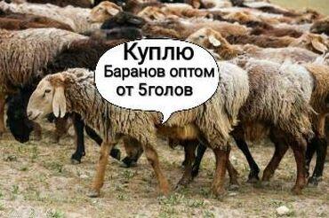 Бараны романовской породы купить - Кыргызстан: Куплю баранов оптом любой упитанности