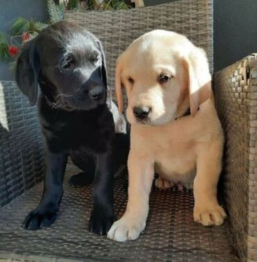 Labrador retriever puppies available Ready for rehoming both genders