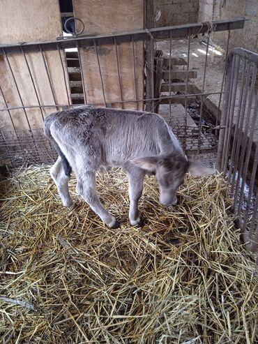 продам теленка в Кыргызстан: Продаю телёнка порода Швиц, возраст 10 дней