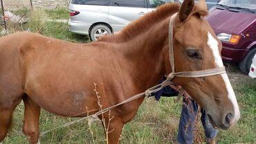 Животные - Кербен: Продаю | Конь (самец) | Кара Жорго | Конный спорт | Племенные
