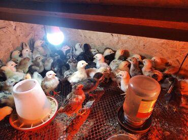 Продаю | Цыплята | Домашняя