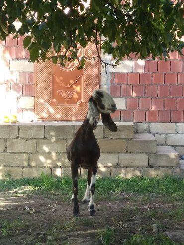 33 elan | HEYVANLAR: Keçilər