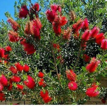Kalistamon ağacları satılır isteyenler buyrub elaqe saxlıya bilersiz