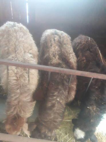 ролики для сушки белья купить в Кыргызстан: Продаю | Козёл | Для разведения | Котные