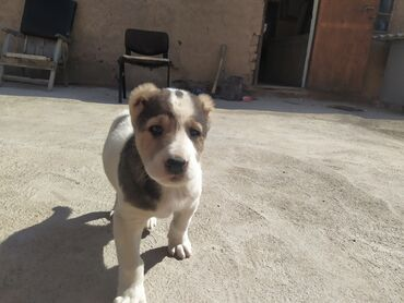 Продается щенок среднеазиатская овчарка (алабай) 1 месяц 6 дней