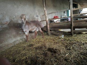 Продается молодой Гисарский кочкор на в Беловодское