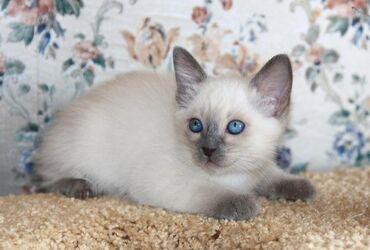 Коты - Ош: Парода сиамская кошка 3месяцев
