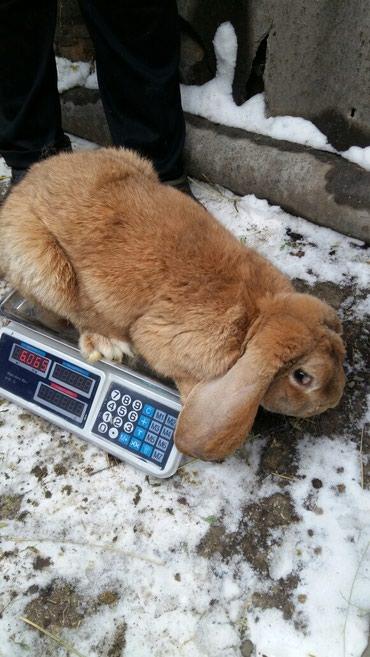 Продаю кролов французский баран по 2200. в Лебединовка