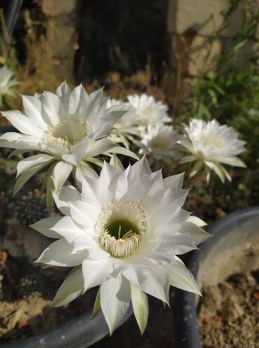 Kaktus - Azərbaycan: Gül acan kaktus Gulu satılır  Yeni Yasamaldadir