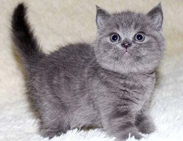 Σκωτσέζικα γατάκια. Αυτά τα γατάκια είναι όμορφα μέσα και έξω. Έχουν κ