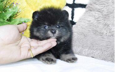 Λατρευτά κουτάβια Pomeranian Αξιολάτρευτο Pomeranian για υιοθεσία. Το