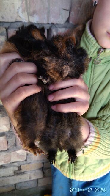 526 объявлений: Продаю морских свинок породы разетка пушистые милые мальчик и