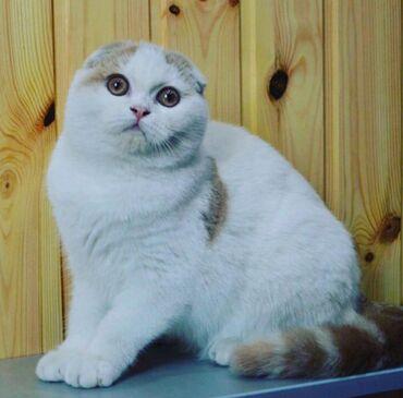 Продаю кошку, шотландская скотиш фолд. Привозная с Москвы. Имеется род