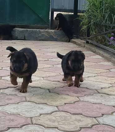 Животные - Каракол: Продаются щенки Немецкой овчарки . Родители чистые с родословной . На