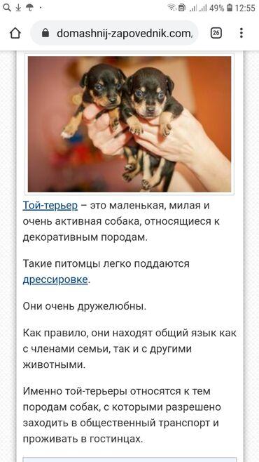 той терьер девочка в Кыргызстан: Тойчики . той терьер. Русский той. Мальчики и девочки. Возраст 2 ме