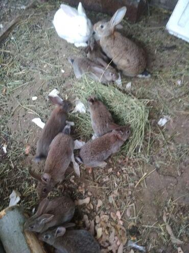 Животные - Балыкчы: Продаю   Крольчата