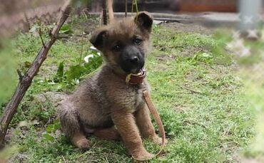 Срочно.Продаю щенка немецкая овчарка (мать) и отец смесь немецкой с
