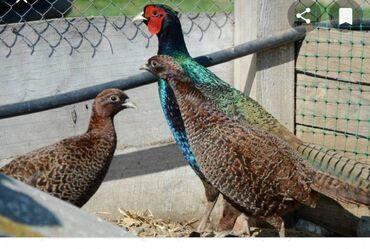 Продаются фазанята румынской породы,осталось 7 штук