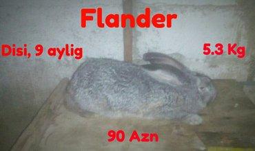 Xudat şəhərində 9 aylig ' Flander ' satilir,  cekisi 5.3 Kg. Etrafli melumat  ucun zen