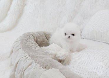Ένα πανέμορφο νεογέννητο κουτάβι1 άσπρο / κρέμα αγόρι, μαμά είναι