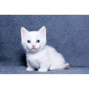 Γατάκια Μούντσκιν. Αυτά τα γατάκια είναι όμορφα μέσα και έξω. Έχουν κο