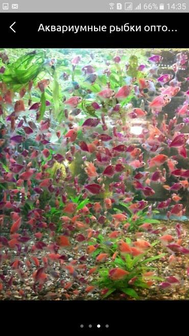 Рыбки в ассортименте оптом и в розницу в Бишкек