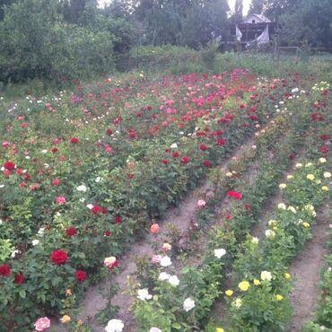 1492 объявлений: Розы кустовые голландские продаю .аламединский базар с восточной