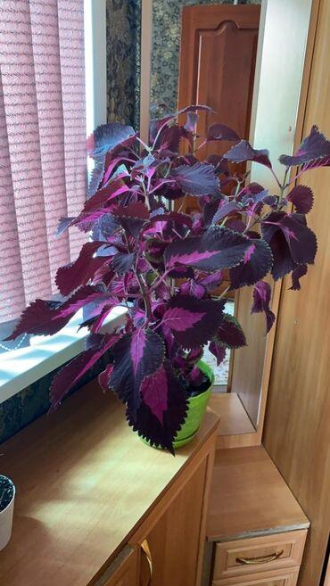 увлажнитель воздуха бишкек in Кыргызстан | ДРУГИЕ КОМНАТНЫЕ РАСТЕНИЯ: Продаются комнатные растения