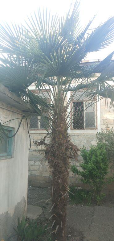 Otaq bitkiləri - Azərbaycan: Palma ağacı satılır. 4 metr